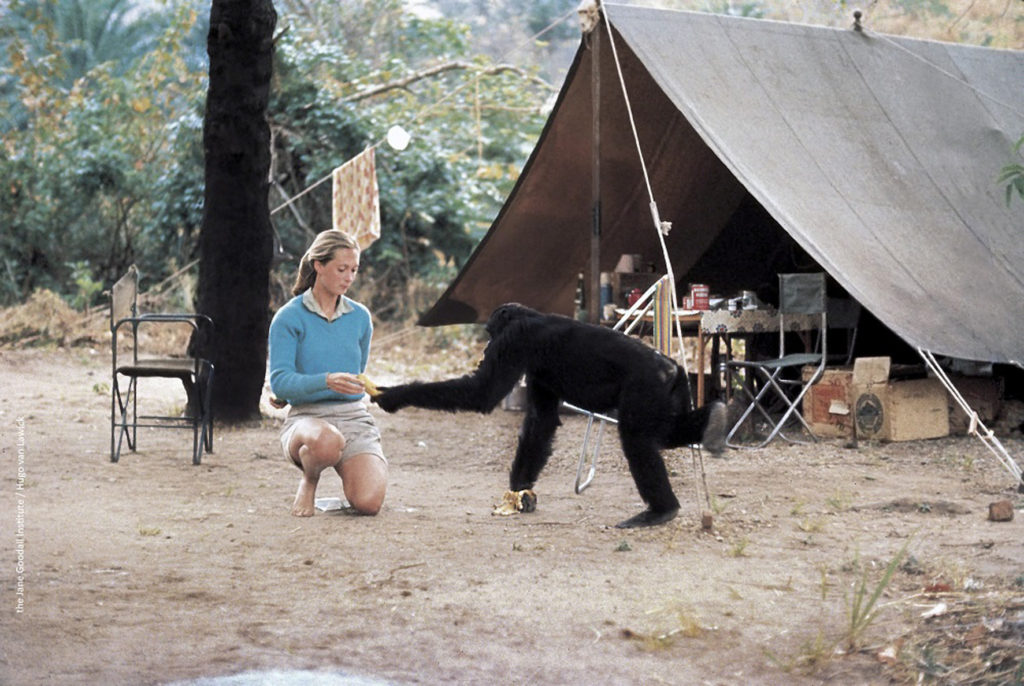 Jane Goodall at Gombe camp_ Copyright the Jane Goodall Institute by Hugo Van Lawick